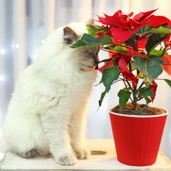cat by poinsettia plant